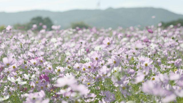 関西・兵庫のコスモス名所「あわじ花さじき」