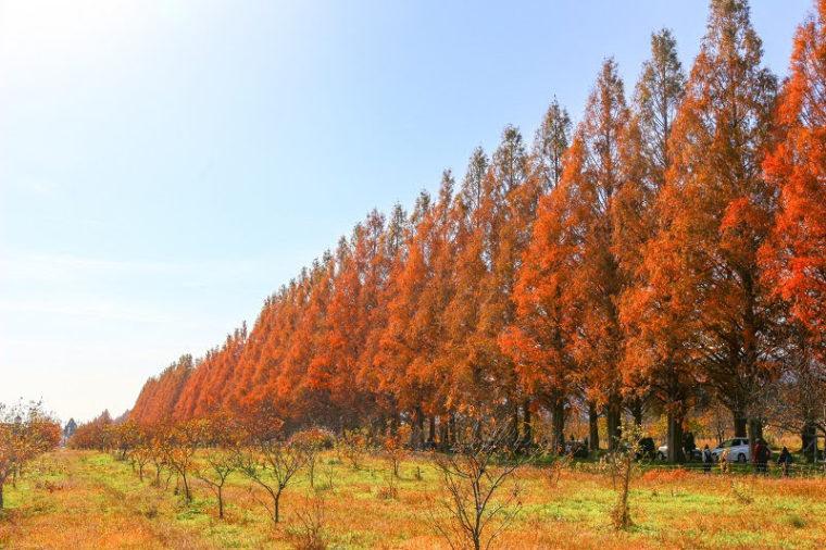 関西・滋賀のおすすめ紅葉スポット「メタセコイア並木道」
