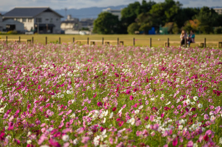 関西・奈良のコスモス畑「藤原宮跡」