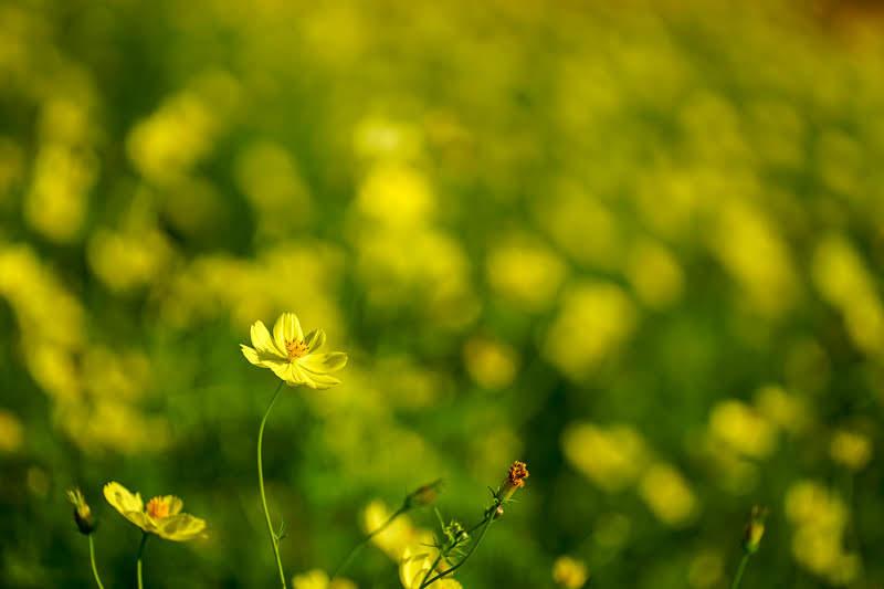 大阪のおすすめコスモス園「万博記念公園・花の丘」