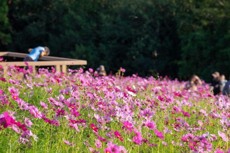 関西・大阪のコスモス園「万博記念公園・花の丘」