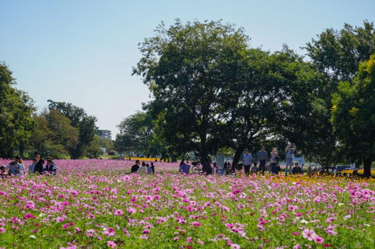 武庫川 髭の渡しコスモス園