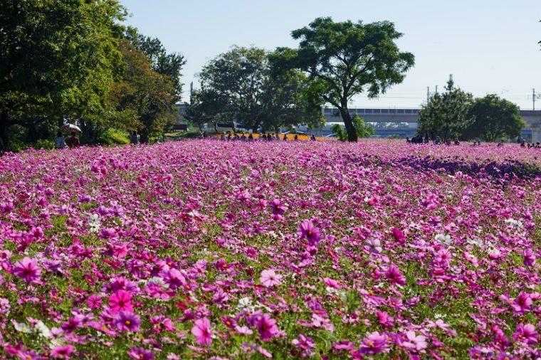 関西・兵庫のおすすめコスモス園|武庫川 髭の渡しコスモス園