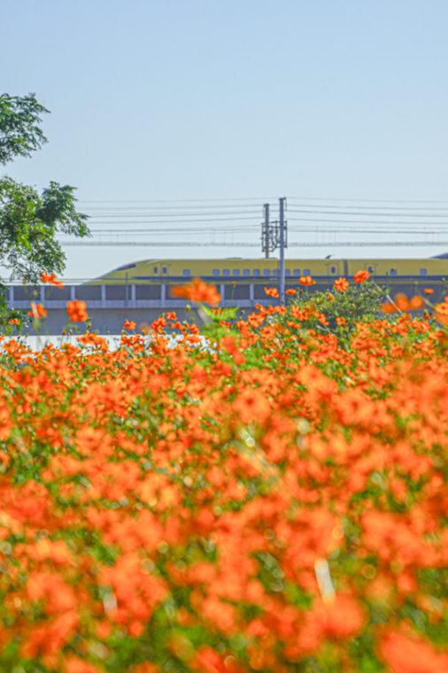 武庫川 髭の渡しコスモス園|ドクターイエロー