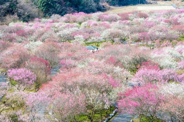 関西でおすすめの梅の名所 いなべ市梅林公園