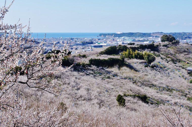 関西でおすすめの梅の名所|南部梅林