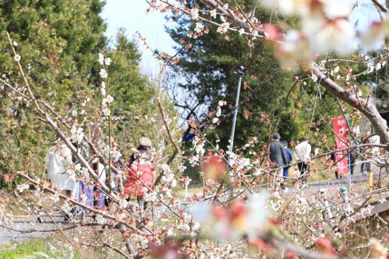 和歌山でおすすめの梅の名所「南部梅林」|見頃やアクセスを紹介!