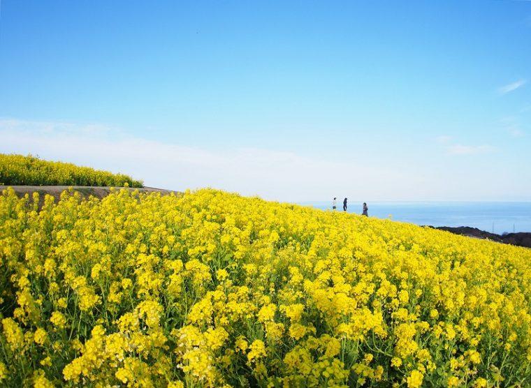 兵庫のおすすめ菜の花畑「あわじ花さじき」