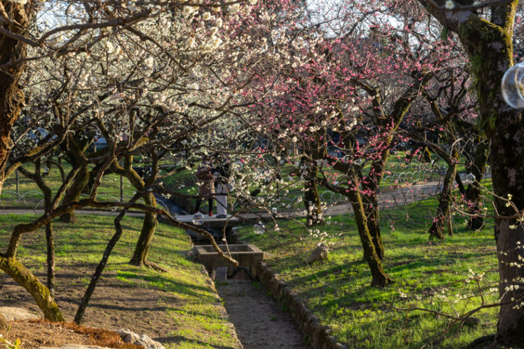 関西でおすすめの梅の名所 北野天満宮 神苑