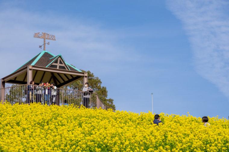 関西のおすすめ菜の花畑|神戸総合運動公園