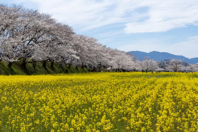 関西のおすすめ桜の名所「藤原宮跡」