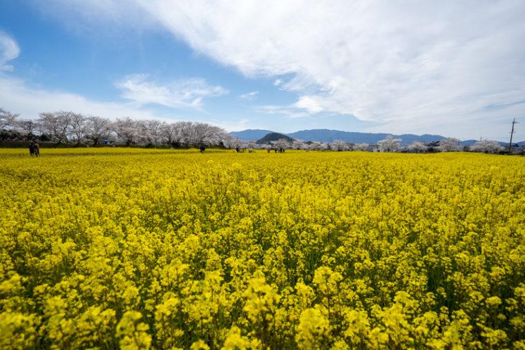 関西のおすすめ菜の花畑|藤原宮跡