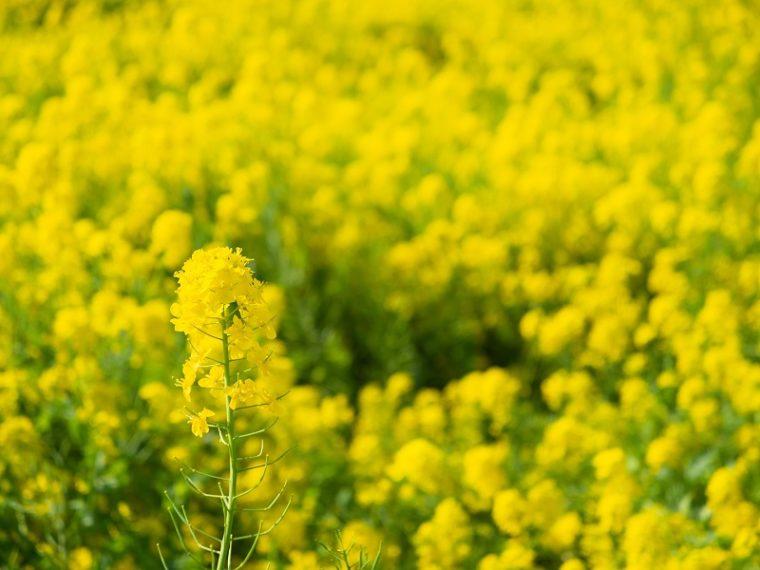 和泉リサイクル環境公園の菜の花