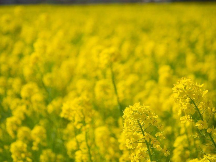堺・緑のミュージアム ハーベストの丘の菜の花畑