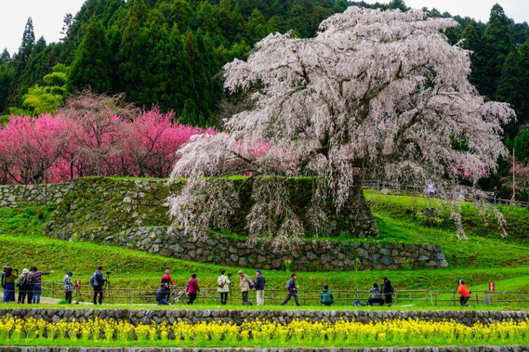 関西のおすすめ桜の名所「又兵衛桜(本郷の瀧桜)」