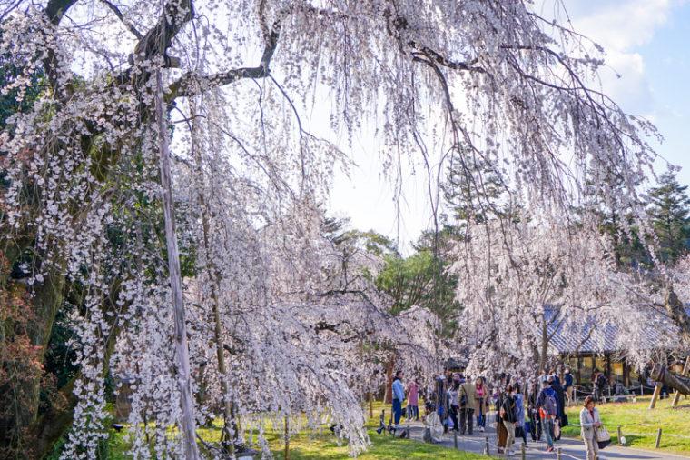 関西のおすすめ桜の絶景スポット「醍醐寺」