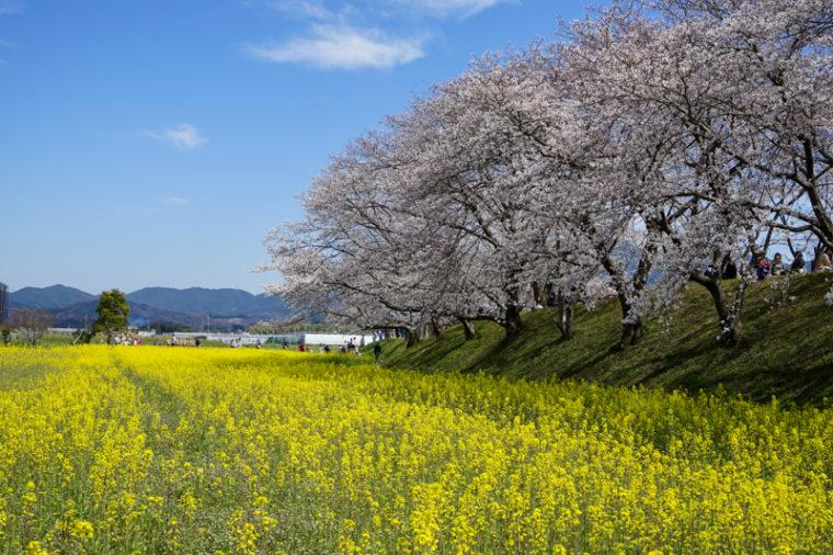 奈良の桜と菜の花畑の名所「藤原宮跡」