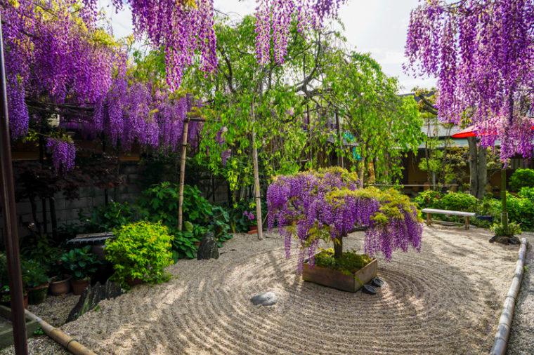 【2020年】熊野街道信達宿 梶本家の野田藤|見頃や開花情報、アクセスなどを紹介