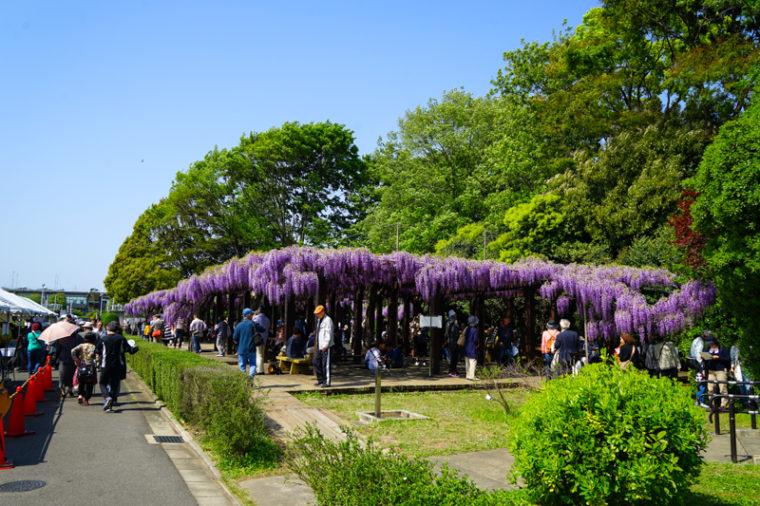 【2020年】京都の藤棚「鳥羽水環境保全センター」|見頃やアクセスなどを紹介