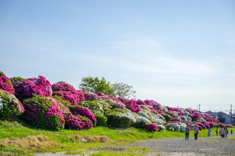 【2020年】大阪のツツジの名所「浅香山浄水場」|見頃やアクセスなどを紹介!