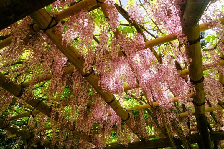 【2020年】奈良の藤棚の名所「春日大社/萬葉植物園」|見頃やアクセスなどを紹介