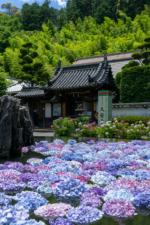 関西・大阪の紫陽花(あじさい)寺「久安寺」