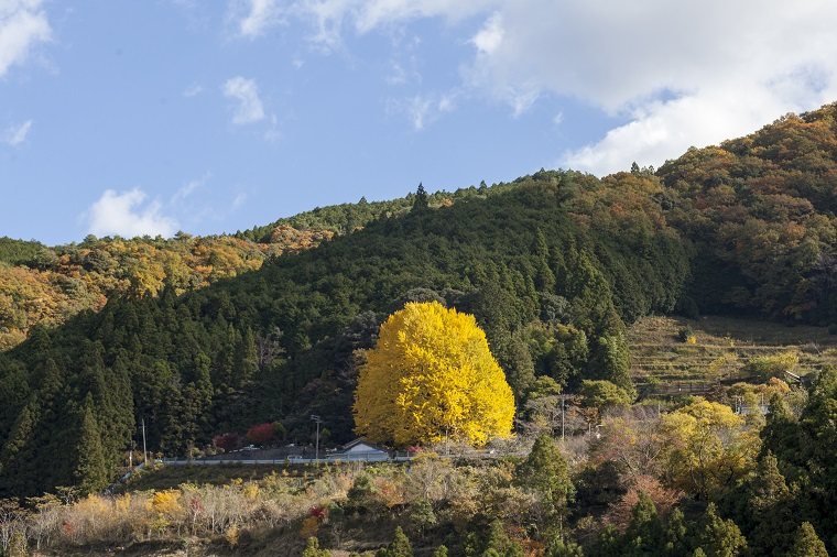 和歌山の紅葉名所「宝泉寺 福定の大銀杏」