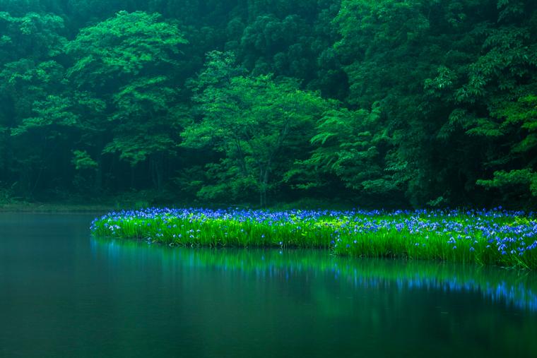 滋賀のカキツバタ群生地「平池」