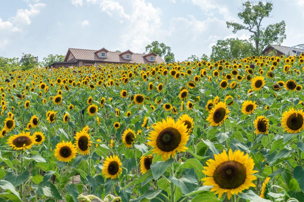 関西のおすすめヒマワリ畑「堺・緑のミュージアム ハーベストの丘」